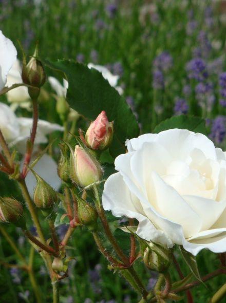 Rosa Schneewittchen stamroos 80-90 cm (witte roos op stam, stammrose, standard rose)