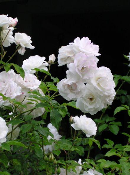 Rosa Schneewittchen stamroos 100-110 cm (zuiverwitte roos op stam, stammrose, standard rose)