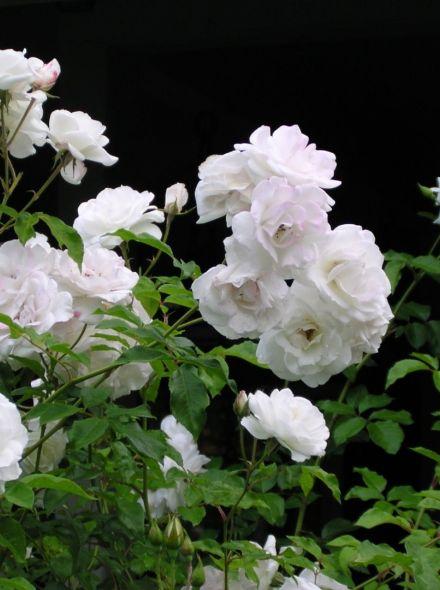 Rosa Schneewittchen stamroos 125 cm (zuiverwitte roos op stam, stammrose, standard rose)