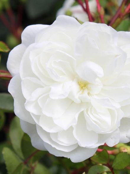Rosa Snow Ballet stamroos 100-110 cm (sneeuwwitte roos op stam, Schneewittchen stammrose, snow white standard rose)