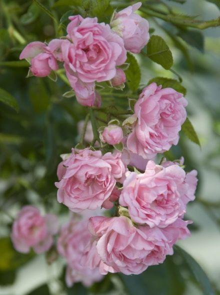 Rosa The Fairy stamroos 80-90 cm (roze roos op stam, stammrose, standard rose)