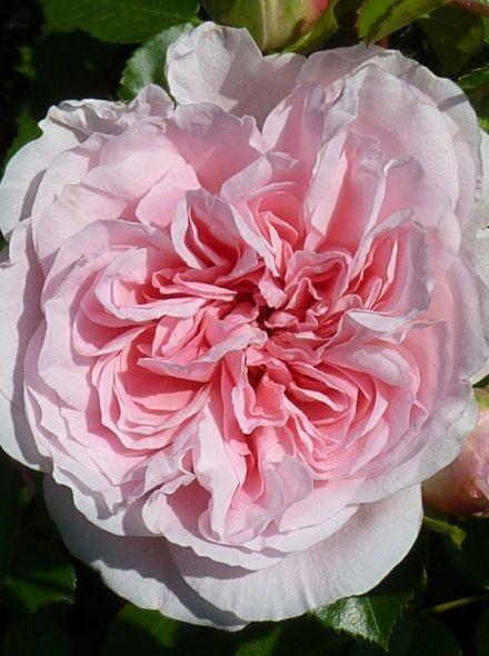 Rosa The Faun stamroos 80-90 cm (roze roos op stam, stammrose, standard rose)