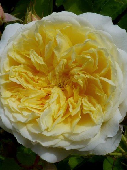 Rosa The Pilgrim stamroos 90-100 cm (geel met witte roos op stam, stammrose, standard rose)