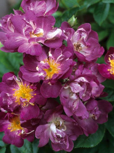 Rosa Veilchenblau stamroos 110-120 cm (lilapaarse roos op stam, stammrose, purple standard rose)