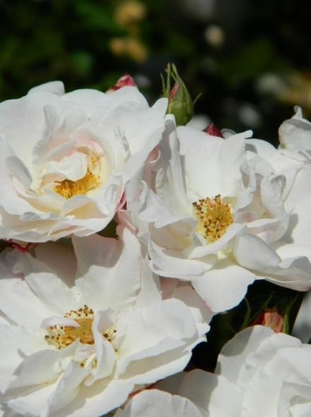 Rosa White Cover - Rosa Kent stamroos 80-90 cm (witte roos op stam, stammrose, standard rose)