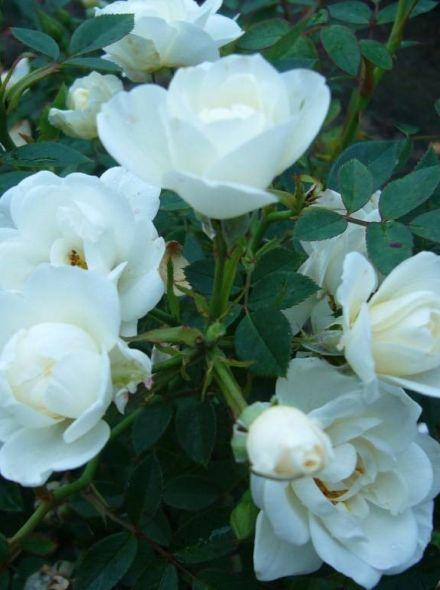 Rosa White Fairy Stamroos 90 cm (witte trosroos op stam, stammrose, standard rose)