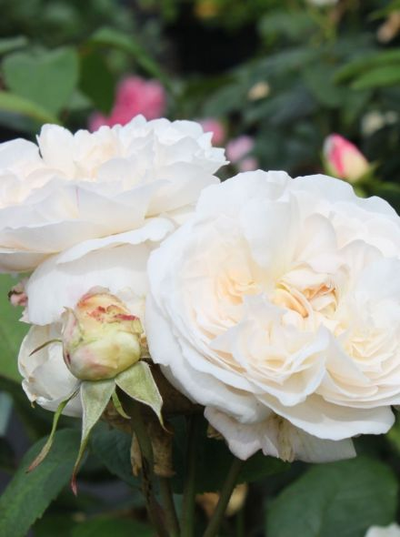 Rosa Winchester Cathedral stamroos 80-90 cm (witte roos op stam, stammrose, standard rose)