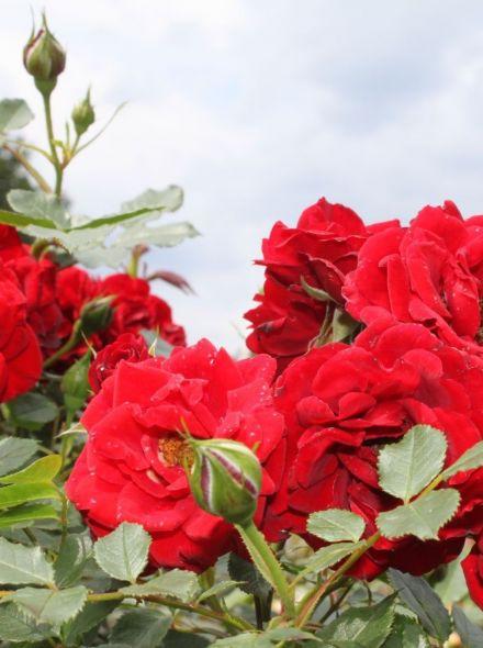 Rosa Zwergkönig Stamroos 90 cm (rode roos op stam, stammrose, standard rose)