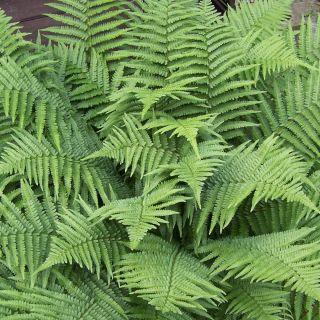 Dryopteris filix-mas (Mannetjesvaren, Echter Wurmfarn, Männerfarn, Male fern)