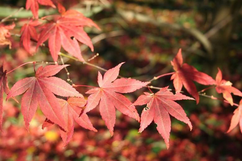Acer Palmatum (Japanse esdoorn, Fächer-Ahorn, Japanese maple, Érable palmé)