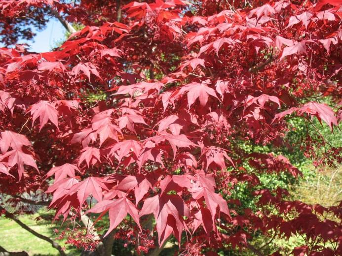 Acer palmatum Atropurpureum (Japanse esdoorn, Fächer-Ahorn, Japanese maple, Érable palmé)