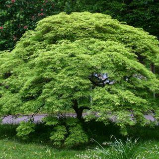Acer palmatum Dissectum (Japanse esdoorn, Fächer-Ahorn, Japanese maple, Érable palmé)
