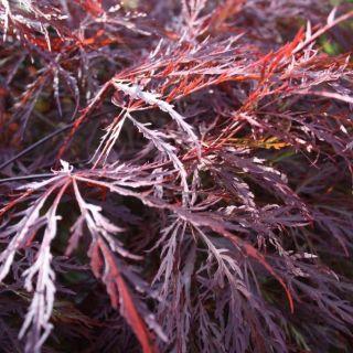 Acer palmatum InabaShidare (Japanse esdoorn, Fächer-Ahorn, Japanese maple, Érable palmé)