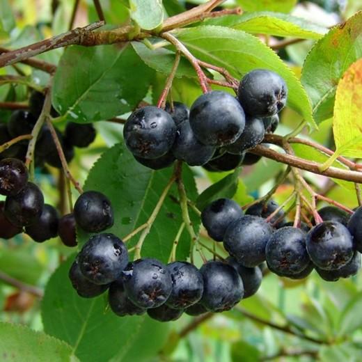 Aronia Melanocarpa (zwarte appelbes, Schwarze Apfelbeere, Black chokeberry)