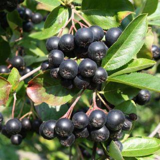 Aronia prunifolia Viking (zwarte appelbes, Schwarze Apfelbeere, Black chokeberry)