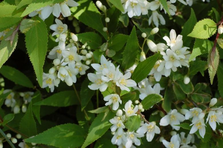 Deutzia gracilis 'Nikko' (Bruidsbloem, Deutzien, Deutzies)
