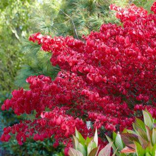 Euonymus alatus (Kardinaalshoed, Spindelsträucher, spindle tree)