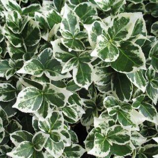 Euonymus fortunei Emerald Gaiety (bontbladige kardinaalshoed, Spindelsträucher, spindle tree)