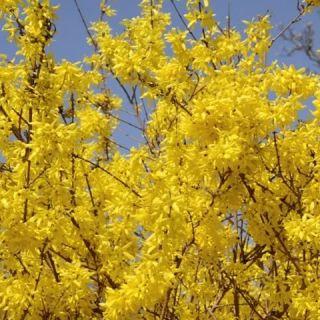 Forsythia intermedia Spectabilis (Chinees Klokje, Bloeiend hout, Garten-Forsythie, Goldflieder, Goldglöckchen)