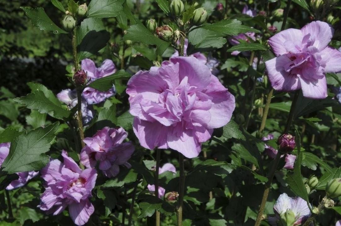 Hibiscus Syriacus Ardens Altheastruik Of Tuinhibiscus