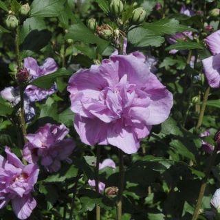 Hibiscus syriacus 'Ardens' (altheastruik of tuinhibiscus, Straucheibisch, Rose of Sharon, Rose mallow, Rosa de Siria)