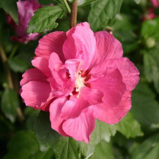 Hibiscus syriacus 'Duc de Brabant' (Altheastruik, Tuinhibiscus, Straucheibisch, Rose of Sharon, Rose mallow, Rosa de Siria)