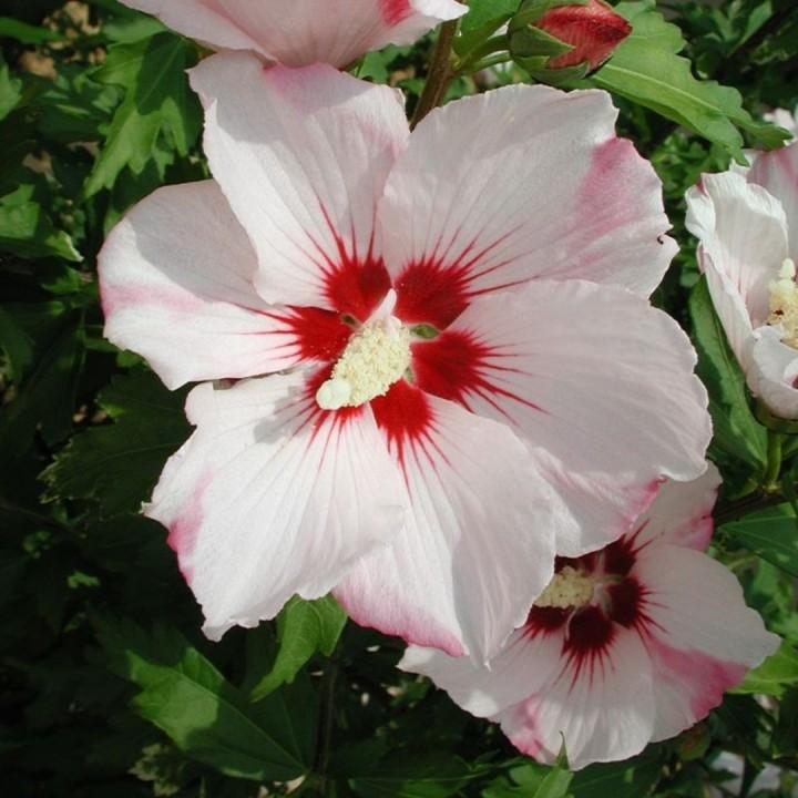 Hibiscus Syriacus Hamabo Altheastruik Heemstroos Of Tuinhibiscus
