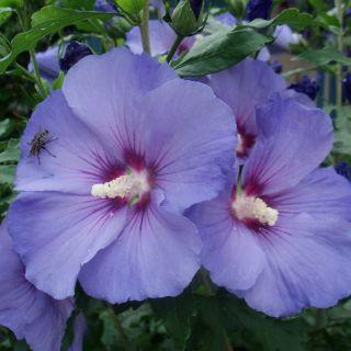 Hibiscus syriacus 'Oiseau Bleu' (Altheastruik, tuinhibiscus, Straucheibisch, Rose of Sharon, Rose mallow, Rosa de Siria)