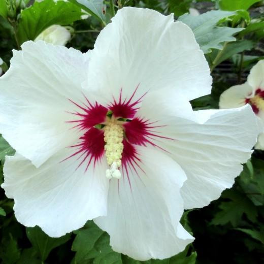 Hibiscus Syriacus Red Heart Altheastruik Tuinhibiscus