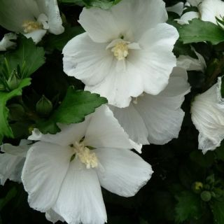 Hibiscus syriacus W.R. Smith (Altheastruik, Tuinhibiscus, Straucheibisch, Rose of Sharon, Rose mallow, Rosa de Siria)