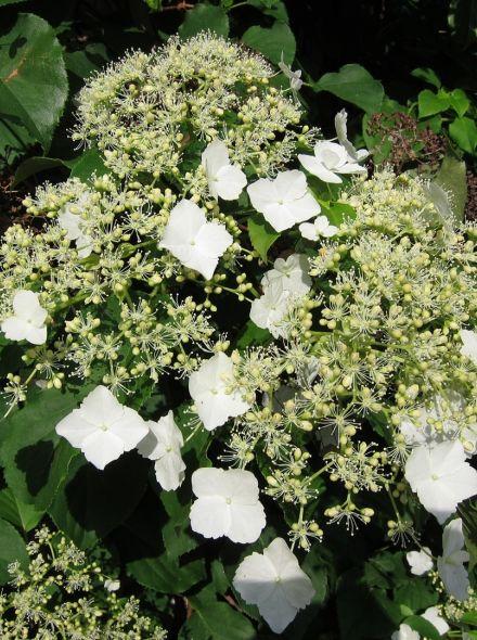 Hydrangea anomala petiolaris (klimhortensia, Kletterhortensie, Climbing hydrangea)