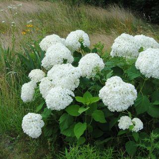 Hydrangea arborescens Annabelle (witte bolhortensia, Sneeuwbal, Wald-Hortensie, Smooth hydrangea, wild hydrangea)