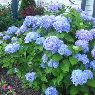 Hydrangea macrophylla Nikko Blue (bolvormige blauwe hortensia, tuinhortensia, Gartenhortensie, Bigleaf hydrangea, French hydrangea)