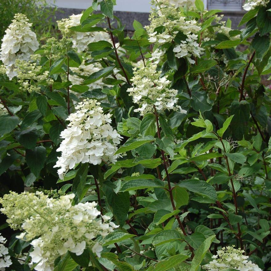 hydrangea paniculata kyushu pluimhortensia rispen. Black Bedroom Furniture Sets. Home Design Ideas
