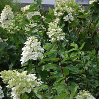 Hydrangea paniculata Kyushu (Pluimhortensia, Rispen-Hortensie, Panicle hydrangea)