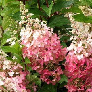 Hydrangea paniculata Pinky Winky (Pluimhortensia, Rispen-Hortensie, Panicle hydrangea)
