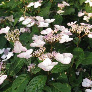 Hydrangea serrata 'Intermedia' (Japanse berghortensia, Japanische Gartenhortensie, Mountain hydrangea)