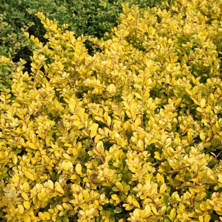 Ilex crenata Golden Gem (Japanse hulst, Japanische Stechpalme ...