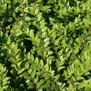 Lonicera nitida Maigrun (Chinese Kamperfoelie, struikkamperfoelie, Immergrüne Kriech-Heckenkirsche, Wilson's honeysuckle)