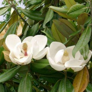 Magnolia grandiflora (groenblijvende beverboom, Valse tulpenboom, Magnolien, Magnolia, Magnolias)