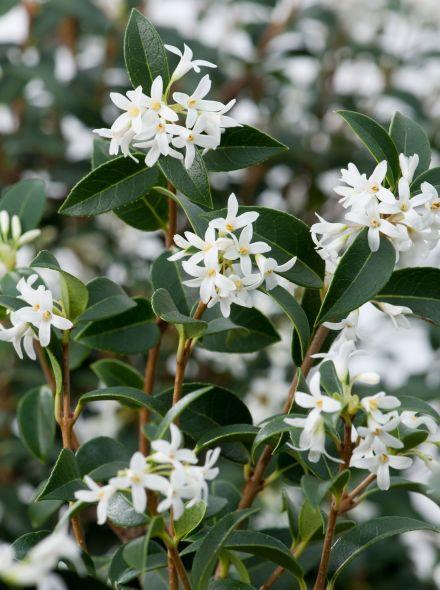 Osmanthus burkwoodii (Schijnhulst, Burkwoods Duftblüte)