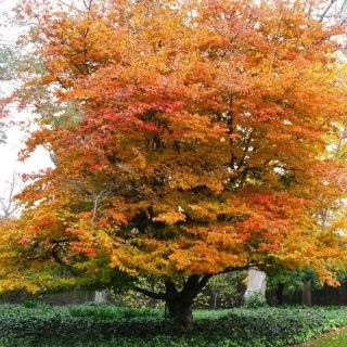Parrotia persica (Perzisch ijzerhout, Parrotie, Persischer Eisenholzbaum, Persian ironwood)