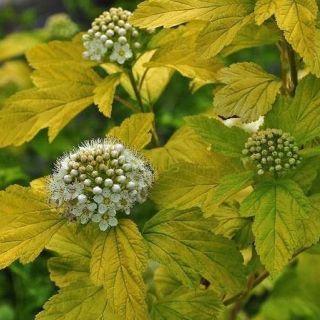 Physocarpus opulifolius 'Dart's Gold' (Blaasspirea, Sneeuwbalspirea, Schneeballblättrige Blasenspiere, Eastern ninebark)