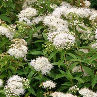 Spiraea japonica Albiflora (Spierstruik, Spiersträucher, Japanese meadowsweet, Japanese spiraea)
