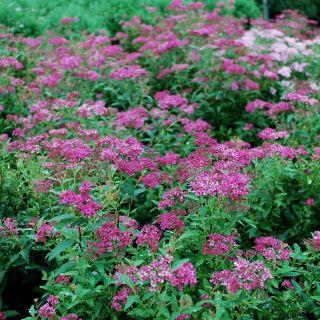 Spiraea japonica Anthony Waterer (Spierstruik, Spiersträucher, Japanese meadowsweet, Japanese spiraea)