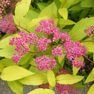 Spiraea japonica Golden Princess (Spierstruik, Spiersträucher, Japanese meadowsweet, Japanese spiraea)