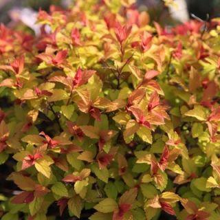 Spiraea japonica goldflame (Spierstruik, Spiersträucher, Japanese meadowsweet, Japanese spiraea)