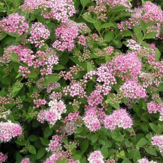 Spiraea japonica Little Princess (Spierstruik, Spiersträucher, Japanese meadowsweet, Japanese spiraea)
