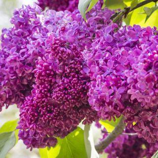 Syringa vulgaris Charles Joly (Purperrode - paarse Sering, Flieder, Common lilac)