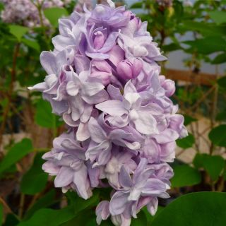 Syringa vulgaris Katherine Havemeyer (Lilaroze Sering, Flieder, Common lilac)